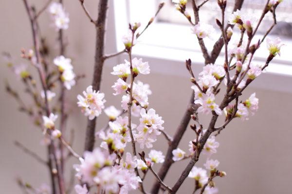 フラワーレッスンの花の桜